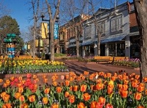 Pearl Street Orange Tulips