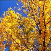 autumn_leaves_and_blue_sky_195925