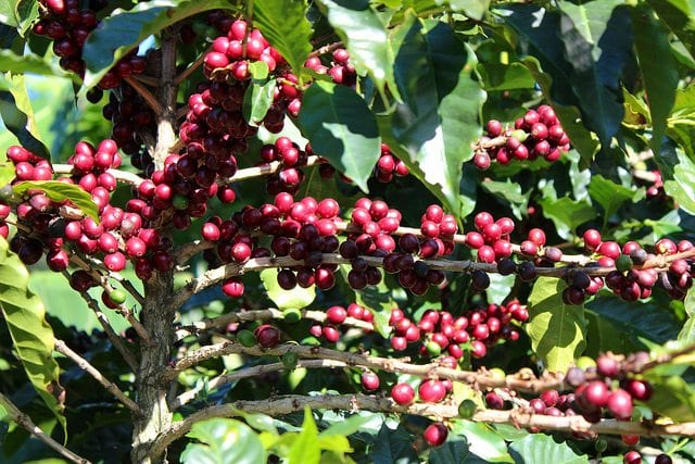 Photo of coffee cherries courtesy of LeafLanguages/Flickr