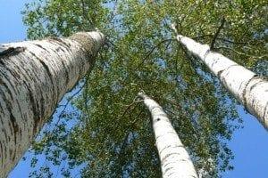 aspen treehugger.com