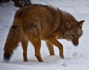 wildcoywolf