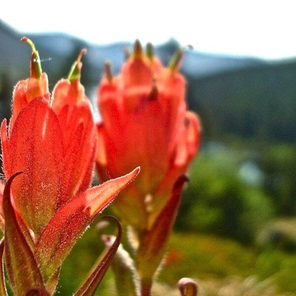 Indian Paintbrush growing lakeside
