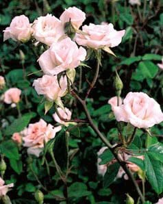 Image by The Antique Rose Emporium