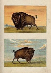 A_male_and_female_American_bison_or_buffalo._Chromolithograp_Wellcome_V0021485