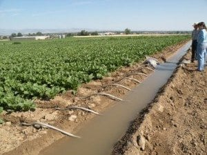 irrigated-sugar-beets-with-tubes-sm