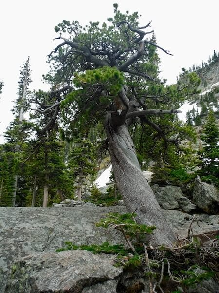 Tree with lightning scar at Rocky Mountain National Park