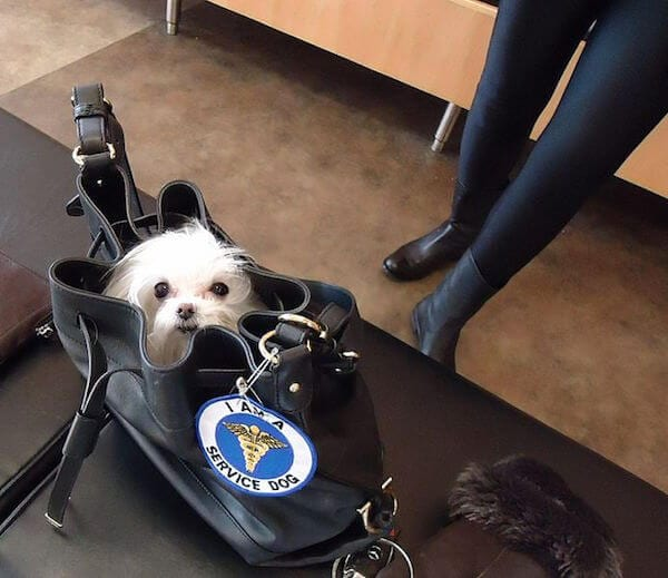 """A 2 pound dog in its """"guardian's"""" purse. Photo Credit: Tomwsulcer"""